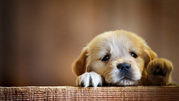 HD-Cute-Puppy-Wallpaper